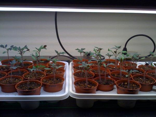 gartengestaltung kleine tomaten pflanzen