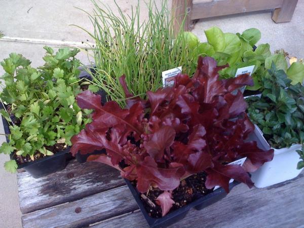 gartengestaltung kräuter roter salat