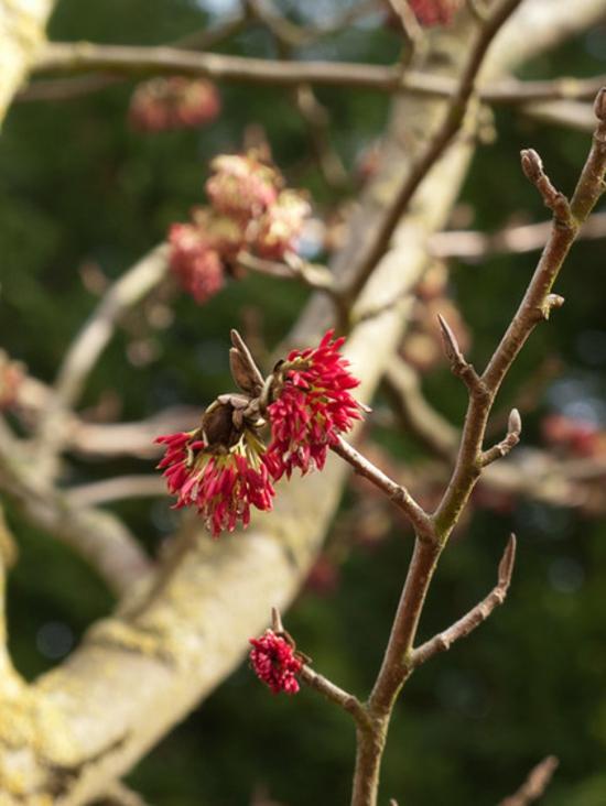Gartengestaltung im winter Persischer Eisenholzbaum