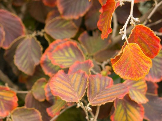 Gartengestaltung im winter Winter Hybrid Zaubernuss herbstblätter