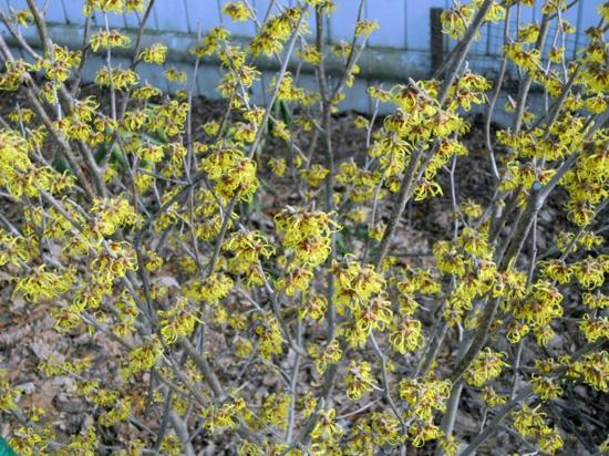 Gartengestaltung im winter Winter Hybrid Zaubernuss in grün