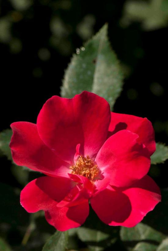 farbgestaltung und bunte wohnideen pink rot rose blume
