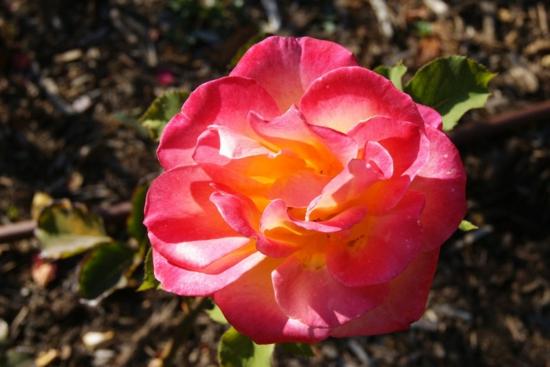 farbgestaltung und bunte wohnideen rosafarben rose blume