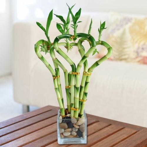 Bambus Zimmerpflanze Pflege Ideen Fur Was Wohndesign Puresterol Com