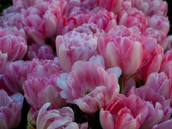 garten und landschaftsbau gartengestaltung ideen frühlingsblumen tulpen