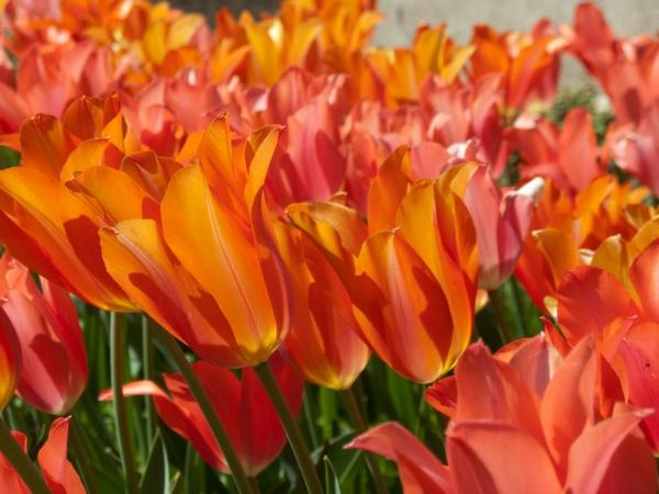 gartengestaltung ideen tulpen blumen