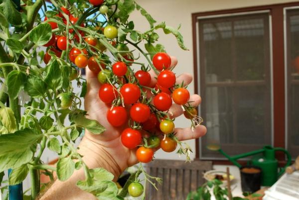 essbare pflanzen cherry tomaten zu hause