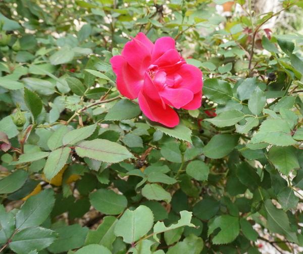 garten umgestalten ideen frühlingsblumen rose