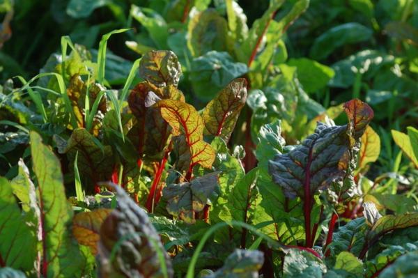 gartengestaltung ideen essbare pflanzen mangold beißkohl