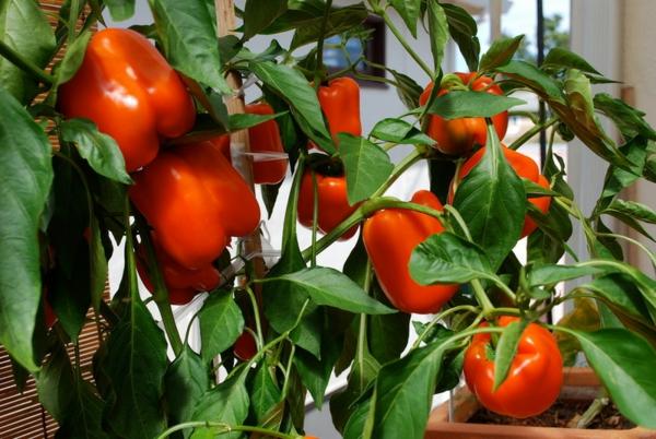 gartengestaltung ideen essbare pflanzen paprika