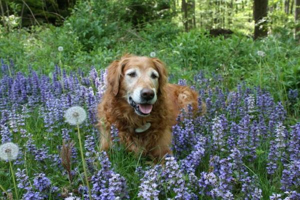 gartengestaltung ideen gartenpflanzen günsel hund pusteblume