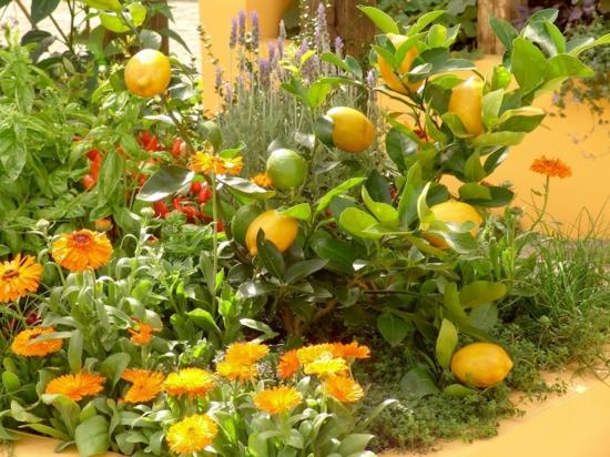mediterraner garten anlegen pflanzen zitronen blumen