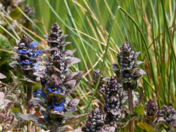pflegeleichte gartenpflanzen aker günsel blau