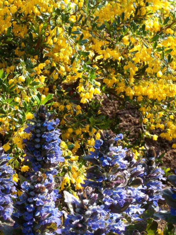 winterharte gartenpflanzen günsel blaue blume