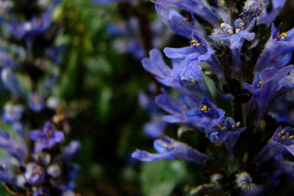 winterharte pflegeleichte gartenpflanzen kriechender günsel blaue blume