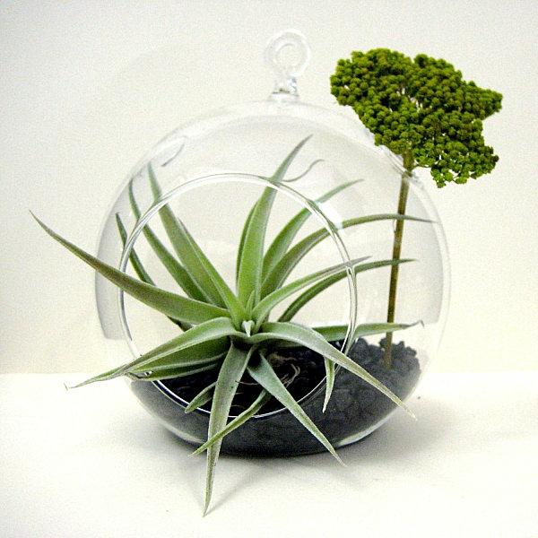 Luftpflanzen Terrarium erdboden glas behälter