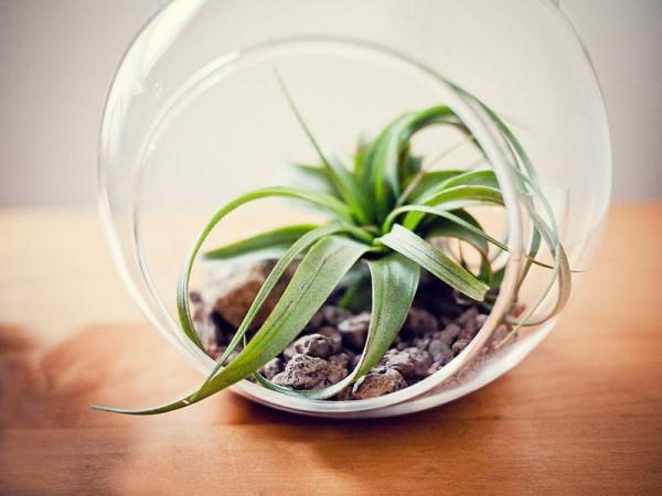 Luftpflanzen Terrarium steine glas