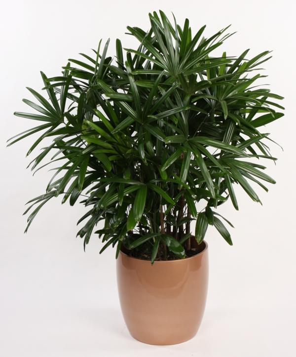 Zimmerpflanzen dattelpalme Palmenarten winterhart üppig