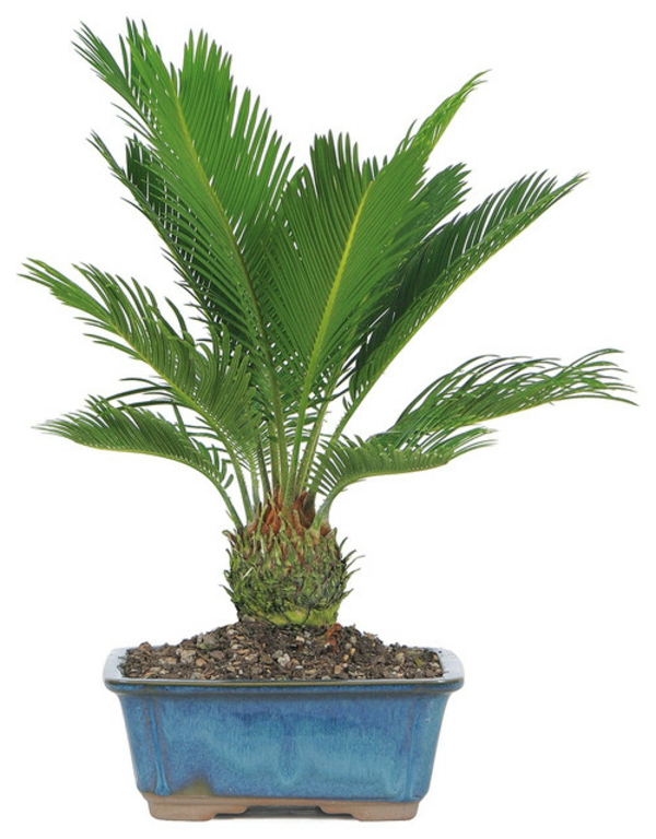 Palmenarten als Zimmerpflanzen  winterhart bodenerde