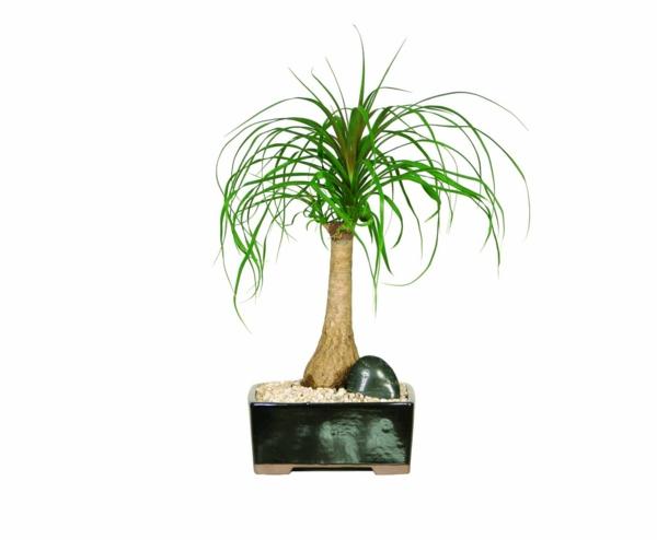 Palmenarten als Zimmerpflanzen dattelpalme winterhart elegant