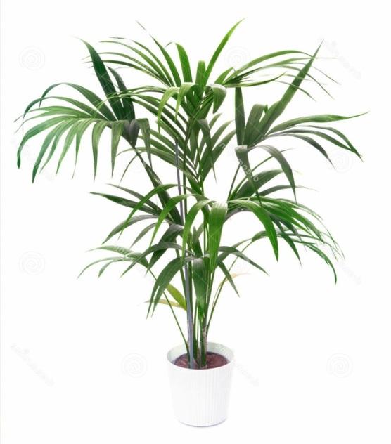 Zimmerpflanzen dattelpalme Palmenarten winterhart idee