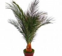 palmenarten als zimmerpflanzen winterharte exotische. Black Bedroom Furniture Sets. Home Design Ideas