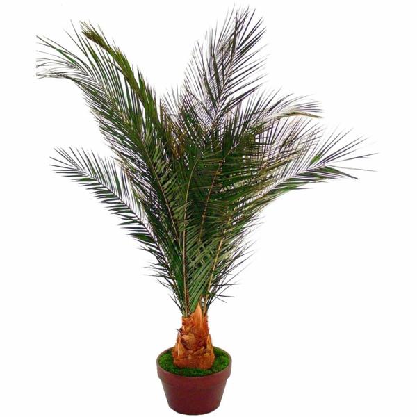 Palmenarten als Zimmerpflanzen dattelpalme winterhart klein