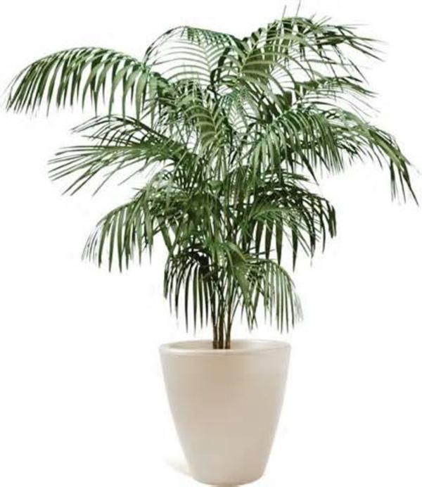 Palmenarten-als-Zimmerpflanzen -dattelpalme-winterhart -weiß-blumentopf