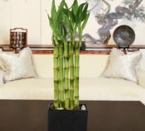 zimmerbambus kaufen was muss man davor wissen und beachten. Black Bedroom Furniture Sets. Home Design Ideas