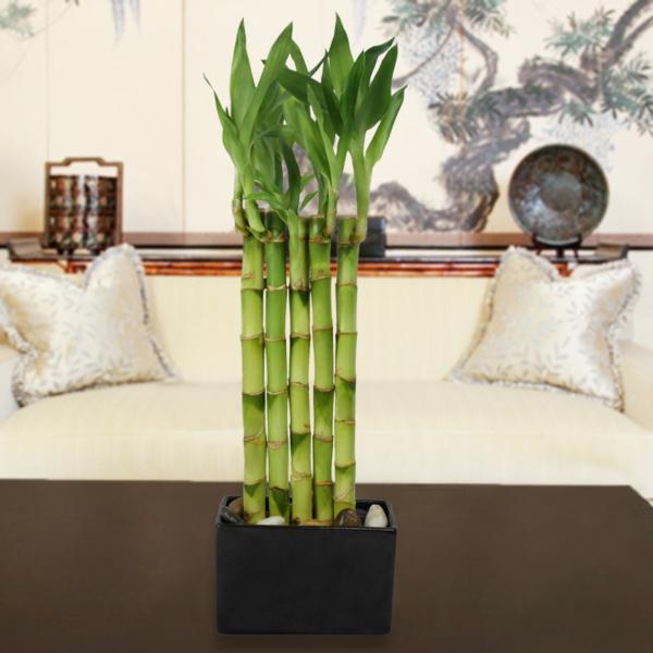 Zimmerbambus kaufen was muss man davor wissen und beachten for Dekorative zimmerpflanzen