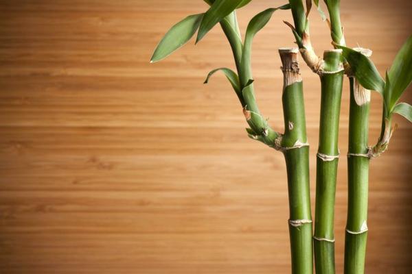 Zimmerbambus kaufen glücksbambus pflegen feucht holz