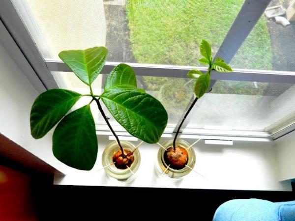 avocado anpflanzen garten und pflanzen ideen avocado am fensterbrett züchten
