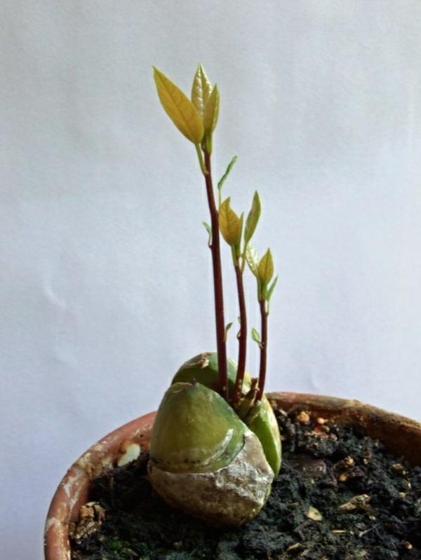 avocado anpflanzen garten und pflanzen ideen