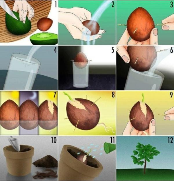 Gut gemocht Avocado anpflanzen - wie kann man ein Avocado-Bäumchen züchten TT55