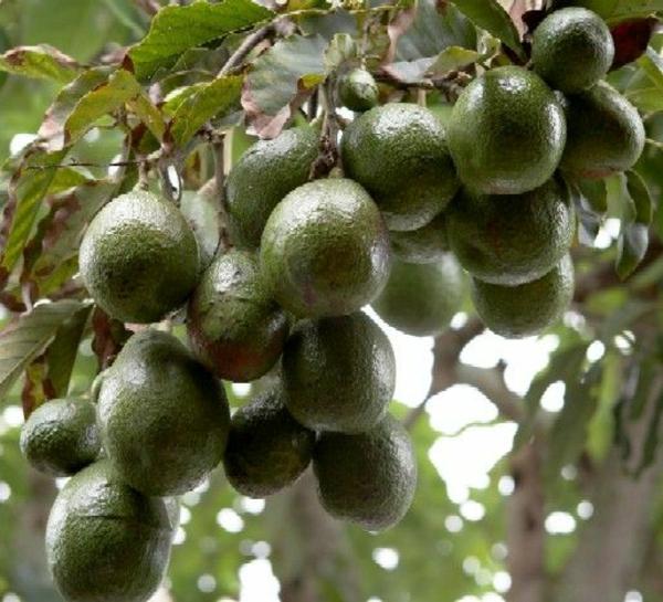 avocado anpflanzen gartengestaltungideen exotische pflanzen