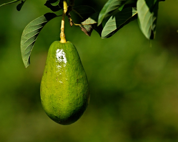 avocado baum züchten gartengestaltung ideen