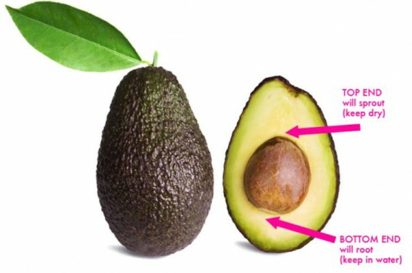 avocado züchten anleitung bilder gartengestaltung ideen avokado kern