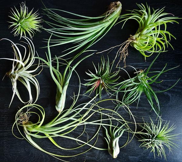 pflanzen pflege luftpflanzen dekoration