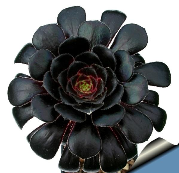 Aeonium arboreum matt farbe