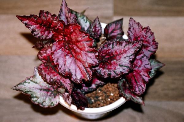 Begonia rex leuchtend farben