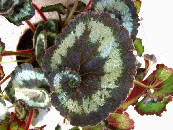 Begonia rex blätter topfpflanzen