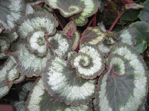 Begonia rex hybrid blätter