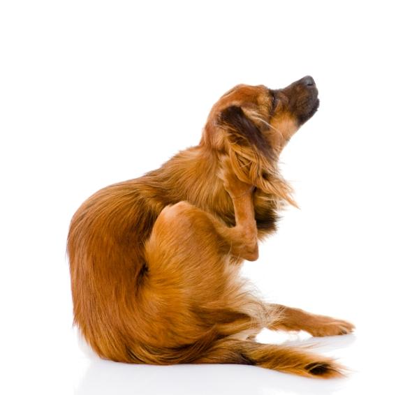 hund kratzen flöhe bekämpfen entfernen