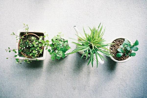 Grünpflanzen immergrün Bilder sukkulenten