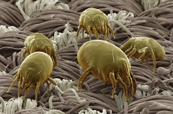 Milben im Bett arten vielfalt