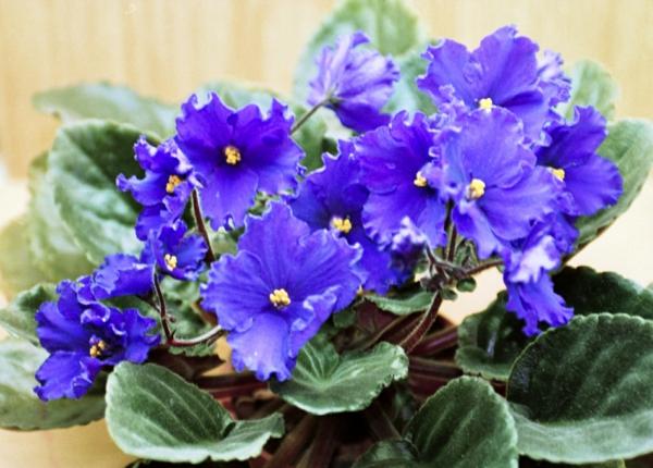 Pflegeleichte Topfpflanzen lila blüten