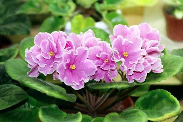 Pflegeleichte Topfpflanzen rosa blüten