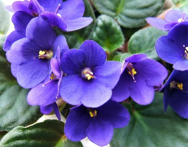 garten Pflegeleichte Topfpflanzen schön lila