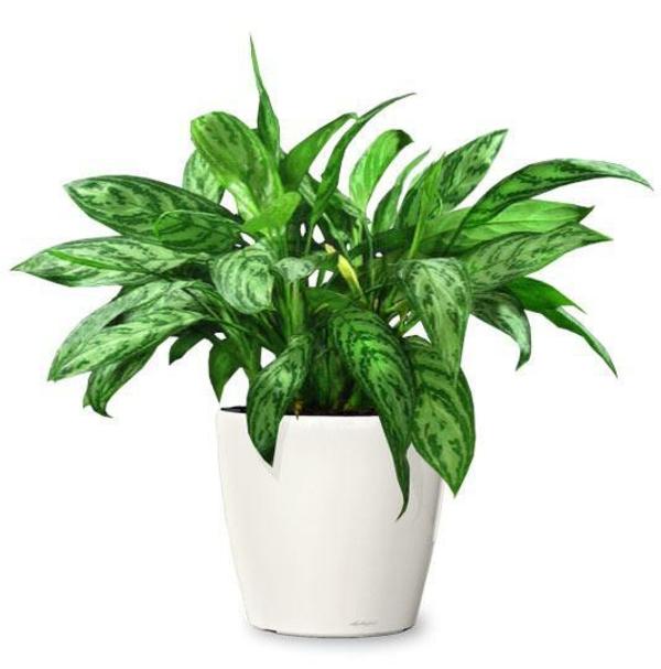 Pflegeleichte topfpflanzen zimmerpflanzen die wenig for Vegetacion ornamental