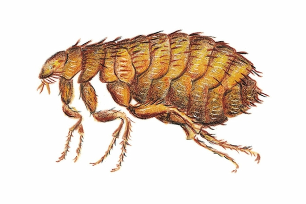 Dog Fleas On Humans How To Get Rid Of